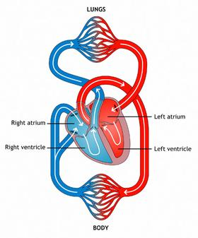 hillview blogs year 5 science systems of our body : circulatory diagram ks2 - findchart.co